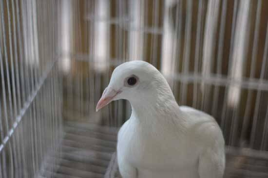 """Dove in a cage as Jesus said to those who sold doves in John 2:13, """"Do not make my Father's house a house of merchandise!"""""""