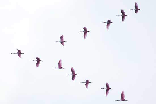 Birds migrating to far distant lands knowing where to fly and when to fly, which has baffled humans
