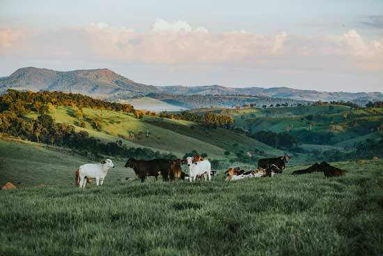"""Cattle on hills, as God says in Psalm 50:1-12, """"For every beast of the forest is Mine, And the cattle on a thousand hills..."""""""
