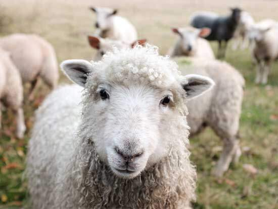 Lamb, as Jesus is often referred to as the Lamb of God since all sacrificial animals in the Old Testament pointed to Him